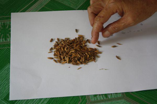 Seleccionar semillas de arroz